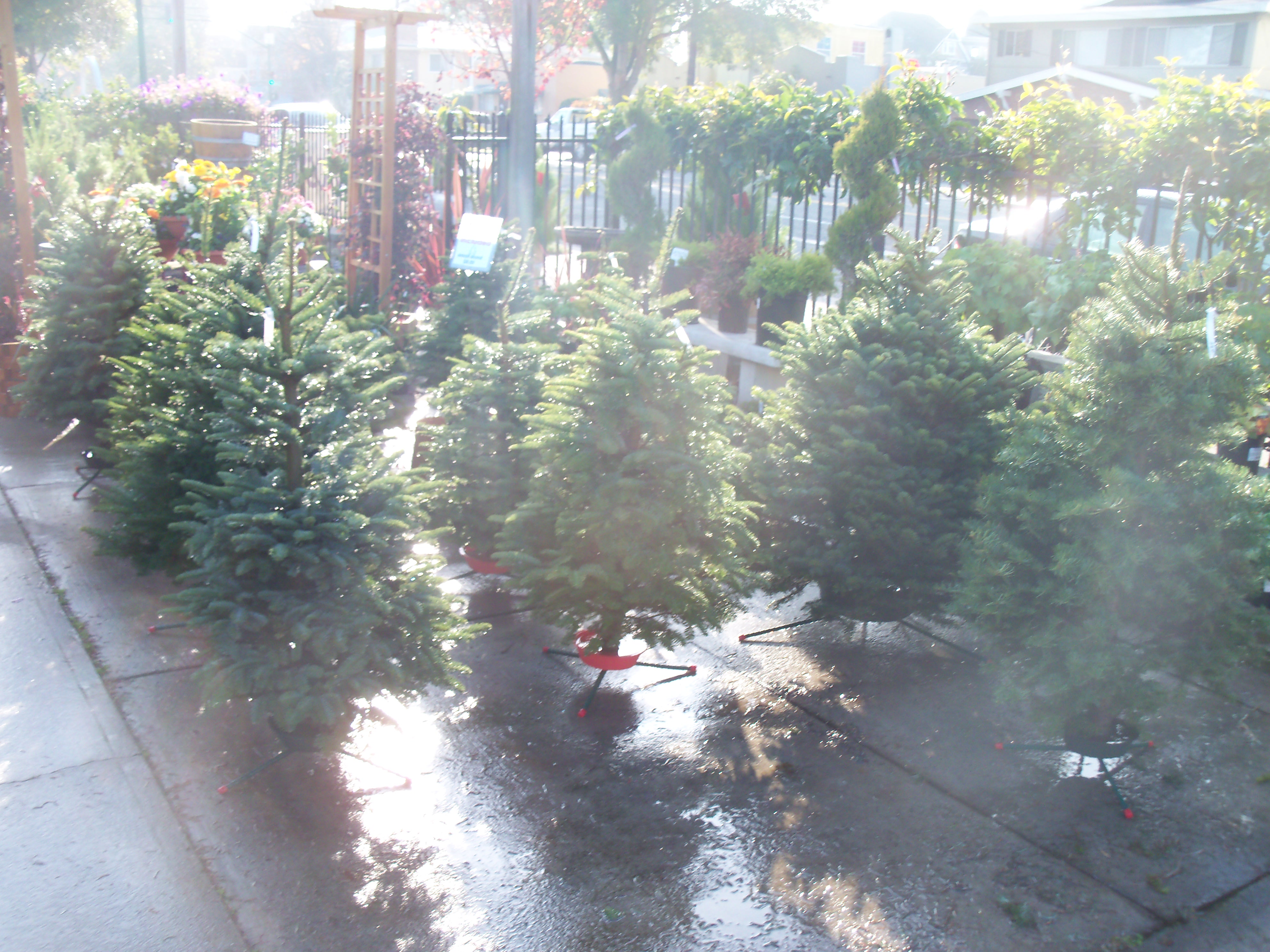 Come Get A Christmas Tree Today!